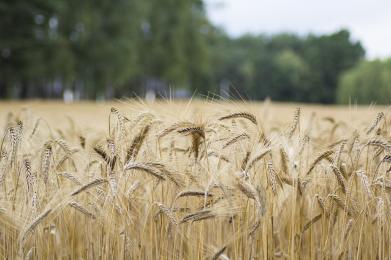 Badanie plonów zbóż oraz rzepaku